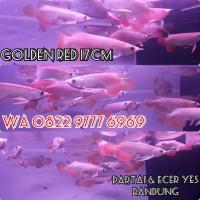 Arwana Golden Red 20cm Arowana rtg HB partai utamakan & ecer yes