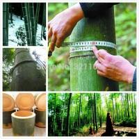 Benih Tanaman    Benih Bambu Raksasa Impor atau Giant Bamboo China
