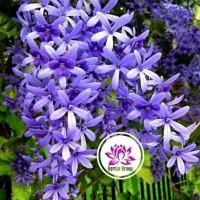 tanaman hidup! bibit tanaman rambat patrea bunga ungu 50cm | pohon