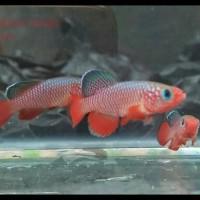 ikan hias aquascape killi fish nothobranchius cardinalis jantan