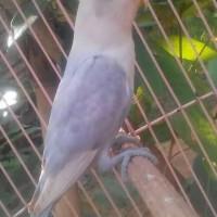 HOT SALE burung lovebird LB pasvio paud baby bahan anak pastel violet
