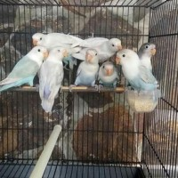 HOT SALE burung lovebird LB pasbir paud baby bahan anak pastel biru