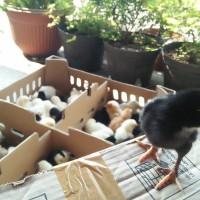 DOC Bibit Anak Ayam Kampung Jowo Super (Joper)