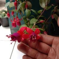 tanaman hias/gantung anting putri india bunga merah ungu