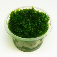 Moss Fisiden US Bahan Cup - Fissiden Fontanus Aquascape Aquarium