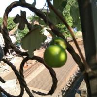 Bibit Tanaman Bidara India atau Putsa Apel India Sudah Berbunga /Buah