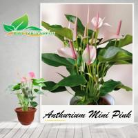 Tanaman Hias Bunga Anthurium Mini Pink ( Tanaman Hidup )