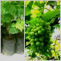 Bibit Anggur hijau tanaman pohon angur bkn brazil ungu merah wine biji