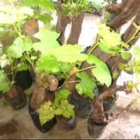 Bibit anggur isabel angur tanaman pohon wine merah hijau brazil jumbo