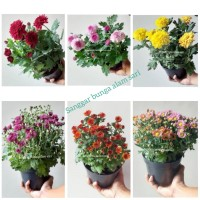 Tanaman Hias Hidup Bunga Krisan / Aster Murah +Pot