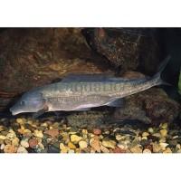 (Go-Jek/Grab) Ikan Hias Baby Dolphin Lumba-Lumba Mormyrid Mormyrus - 4