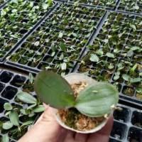 bibit angrek bulan hybrid seedling umur 4-5bulan