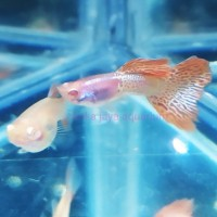 ikan guppy albino metal redlace red lace untuk aquarium aquascape