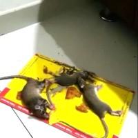 lem tikus papan pagoda