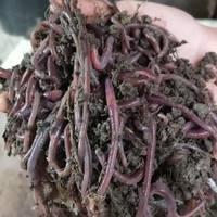 Pakan umpan ternak unggas ikan belut lumbricus1/4kg hidup tanah cacing