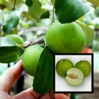 Bibit Tanaman Buah Apel Putsa/Apel India 40cm kondisi berbuah
