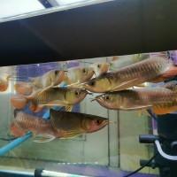 Arwana arowana golden red rtg tidak HB uk/sz 17-20 cm