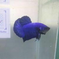 Ikan Cupang Hias Blue Royal TOP Gen