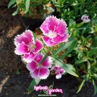Anyelir Bunga UNGU garis putih