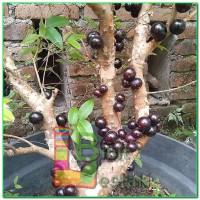 Bibit Anggur FRECO VALID - Anggur Brazil - Anggur Pohon