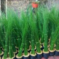 Tanaman bambu air per pohon bibit benih tanaman siap tanam⠀⠀⠀