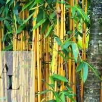 Bibit Bambu Ampel Kuning / Bambu Hias / Bambu Pengusir Setan Dll