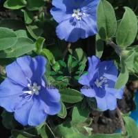 Bibit Bunga Baby Blue ( PAKET BIBIT ISI 3, BERAT 550 gr )