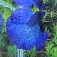 TERCANTIK Ikan Cupang Halfmoon Royal Blue Jantan MURAH