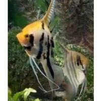 Ikan Hias Manfish tree colour Aquascape Aquarium