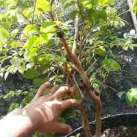 Bibit tanaman buah anggur brazil preco