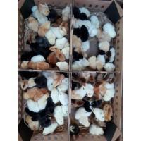 Jual DOC atau Bibit Ayam Kampung Super untuk Seluruh Indonesia