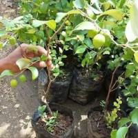 bibit tanaman buah apel putsa/apel India