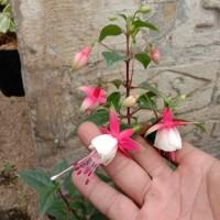 tanaman hias/gantung anting india/lampion bunga merah putih