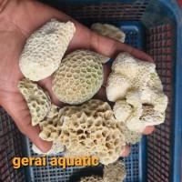karang laut karang kancing ukuran s aquarium