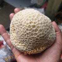 Karang laut karang Kancing ukuran m Aquarium