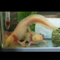 axolotl golden anakan 5cm up