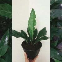 Tanaman hias Gelombang Cinta / Anthurium / Indoor / Outdoor
