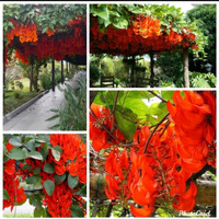 Bibit Tanaman Hias Flame Of Irian - Bibit Bunga Irian