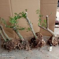 bahan bonsai anting putri mikro program akar