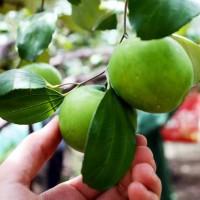 Bibit Tanaman Apel India Atau Bibit Putsa Unggul