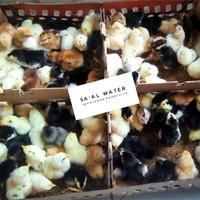 DOC Ayam Kampung Super Joper - FS