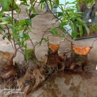 bahan anting putri program akar+batang