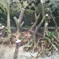 bonggol bahan bonsai anting putri