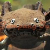 ikan axolotl tiger 15cm