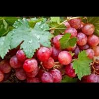 bibit pohon angur merah