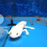 ikan axolotl albino 15cn