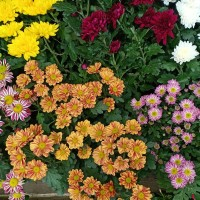 Tanaman Krisan / Bunga Krisan / Tanaman Bunga Hidup Krisan / Kerisan