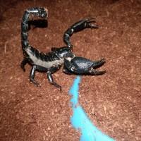 kalajengking/scorpion Heterometrus cyaneus/ afs /asian forest scorpion