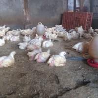 Ayam Potong Segar