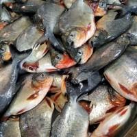 Ikan Bawal segar ½ kg isi 2-4 ekor Dibersihkan